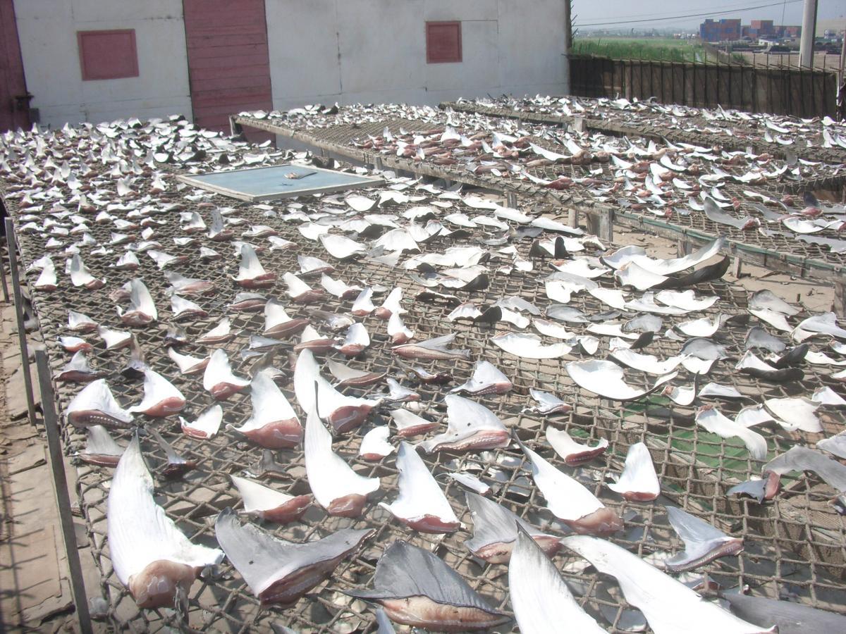 Las aletas de tiburón son exportadas principalmente hacia Asia, dónde la sopa de aleta es símbolo de estatus.