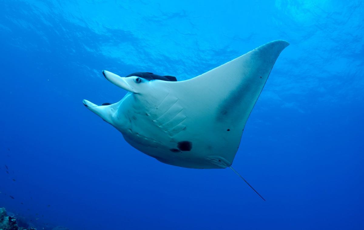 Mantarraya gigante, especie de la fauna marina peruana en peligro